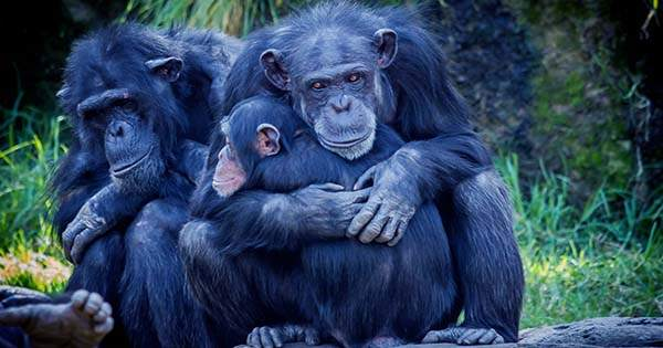 Bonobos and Chimps Signal Hello and Goodbye to begin and End Interactions
