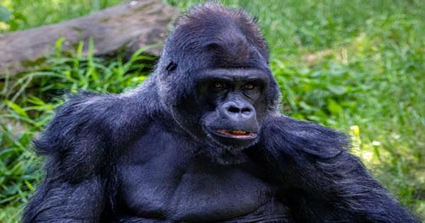 Chimpanzees Seen Killing Gorillas for the First Time