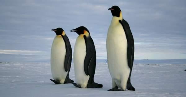 Climate Change is Putting Emperor Penguins in Danger