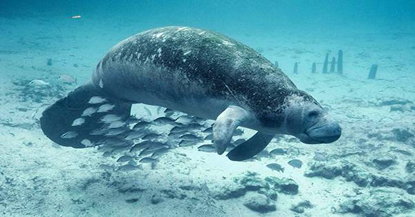 Florida Manatee Death Count for 2021 Already Surpasses Every Year on Record
