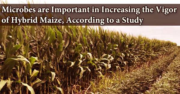 Microbes are Important in Increasing the Vigor of Hybrid Maize, According to a Study