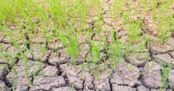 Rice Root Microbiome Changes due to Drought
