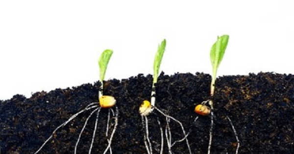 Scientists Identified a Gene in Corn that Regulates the Angle at which Roots Grow