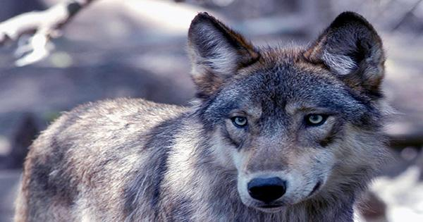 The Coyote Attacks in Canada Might be Partly Fueled by Eating Drugs, Expert Says