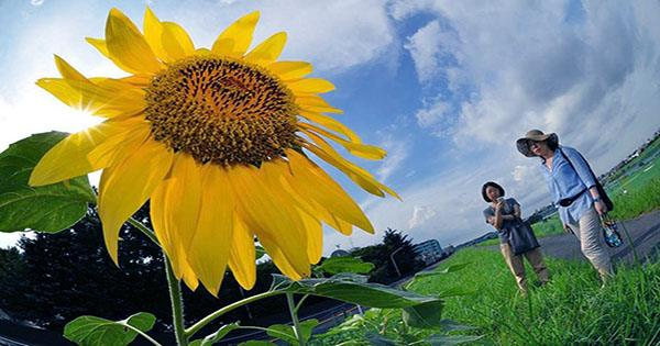 Why Scientists Plant Sunflowers after Nuclear Disasters