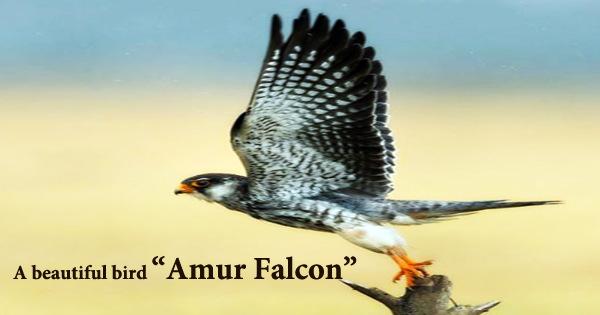 "A beautiful bird ""Amur Falcon"""