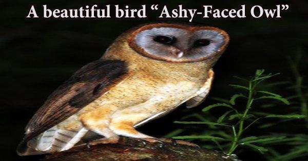 "A beautiful bird ""Ashy-Faced Owl"""