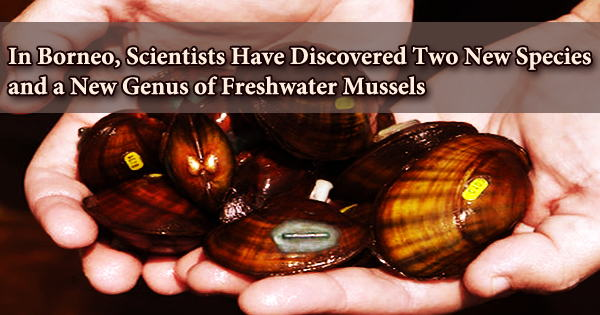In Borneo, Scientists Have Discovered Two New Species and a New Genus of Freshwater Mussels
