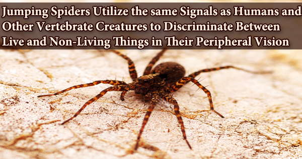 Jumping Spiders Utilize the same Signals as Humans and Other Vertebrate Creatures to Discriminate Between Live and Non-Living Things in Their Peripheral Vision