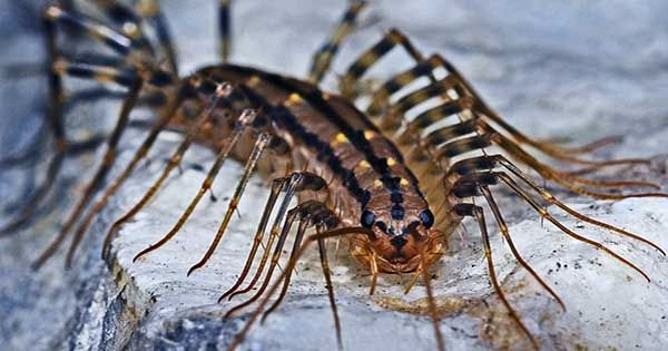 """Redditor Finds """"Oddly Terrifying"""" Centipede in their Apartment – you should See it Run"""