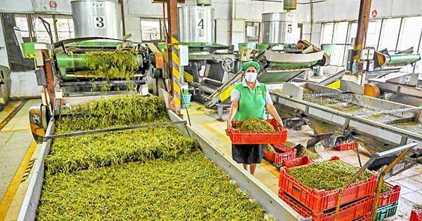 The Organic Revolution in Sri Lanka Threatens the Tea Industry