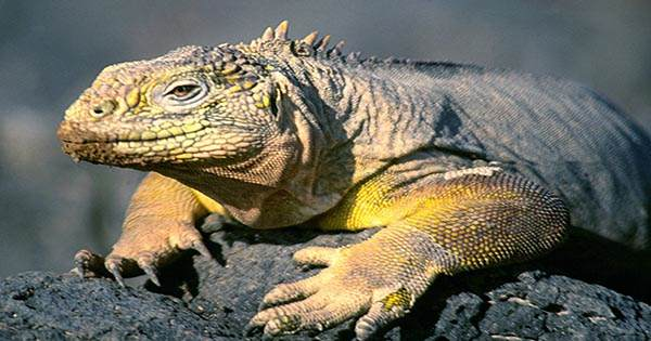 There are Just 211 Galápagos Pink Iguanas Left, Latest Estimates Show